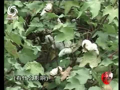 视频 降雨/新疆降雨降温棉花受损...