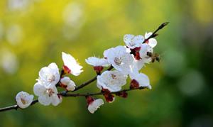 凤凰岭自然保护区——漫步杏花林