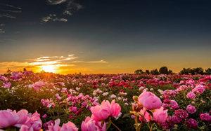 景山公园——雍容华贵牡丹花