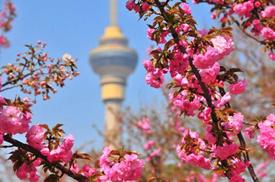 樱花烂漫春又到
