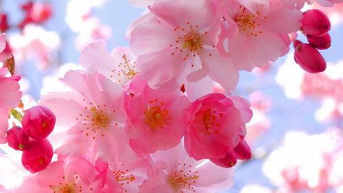 中国樱花文化内涵