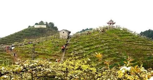 万盛:万亩梨花开得艳 远近游客闻香来