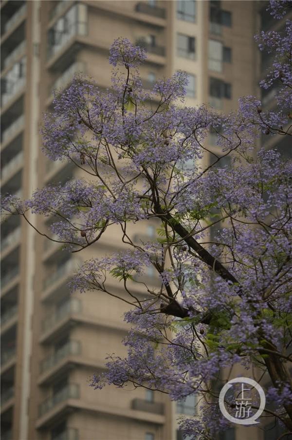 重庆4月光照充足 主城蓝花楹大面积开花