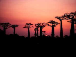 气候变化或致非洲生命之树逐渐死亡