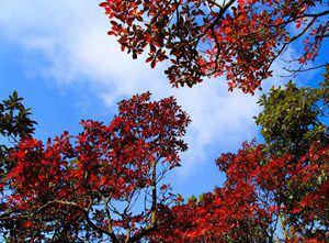 层林尽染 金佛山40种红叶等你来