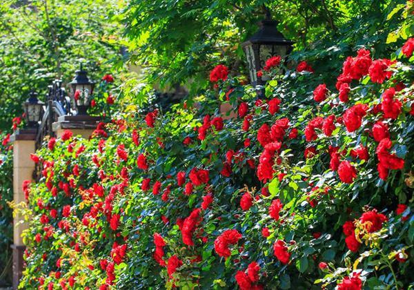 辽宁辽阳蔷薇花开满院墙 香气四溢