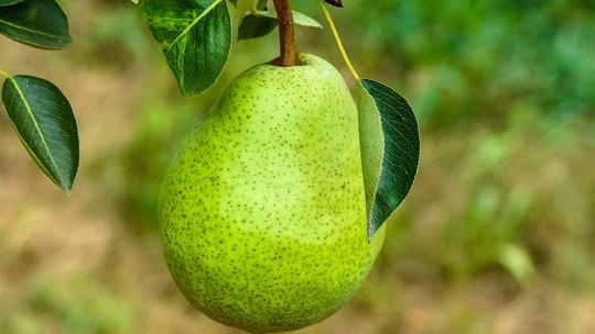 秋季咳嗽为什么吃了梨还不好?