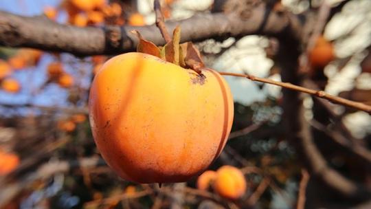 霜降习俗知多少?为何要吃柿子?