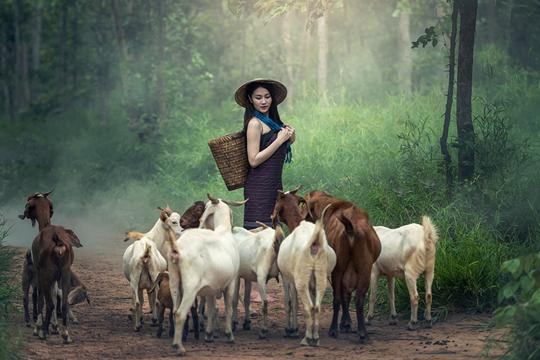 大暑习俗:吃仙草 喝暑羊