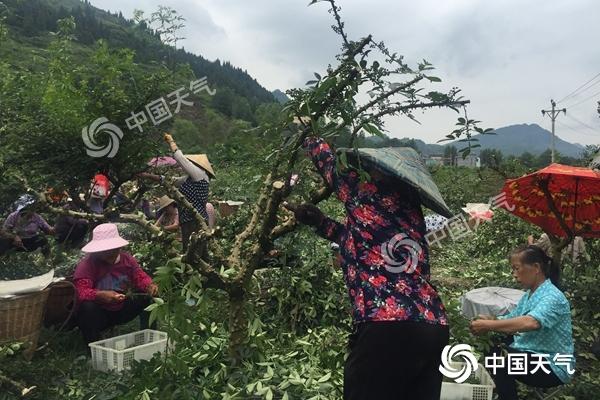 收割花椒的泔溪镇农户-负责剪树枝的人_副本.jpg