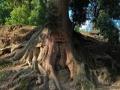 金丝楠木群缘何历经千年风雨屹立不倒?
