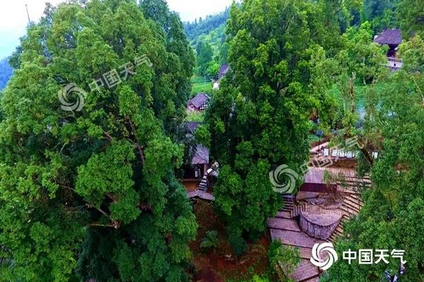 历经千年风雨屹立不倒 重庆酉阳金丝楠木群缘何保存至今?