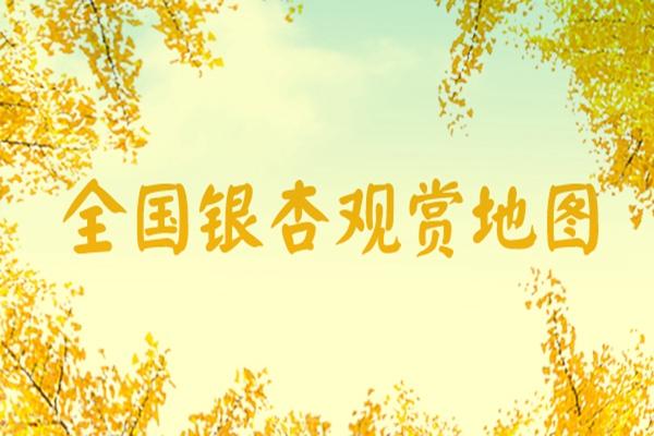 全国银杏观赏地图来了!辽宁丹东31日进入最佳观赏期