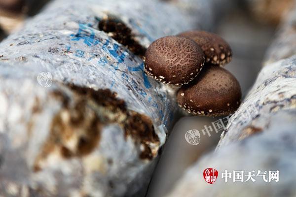 """废木头长出""""金元宝"""" 新疆特克斯实现生态有机良性循环"""