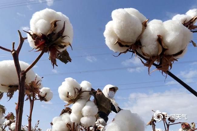 我国棉花播种即将全面开启 一图看懂棉花产地在哪里