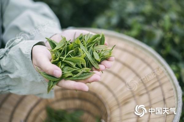 鉴别春茶有诀窍 全国春茶地图告诉你哪里的茶更好