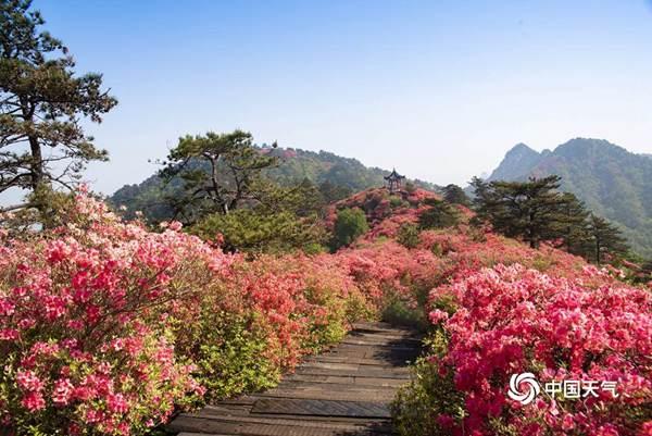2021全国杜鹃花地图出炉!看漫山遍野花开映山红