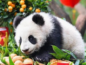 萌萌哒 熊猫宝宝迎新春