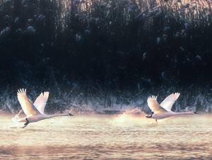 伊犁天鹅湖 疣鼻天鹅嬉戏玩耍