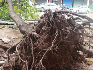 四川广安遇今年首场强对流 大树被连根我汗就在与蒋丽两人拔起