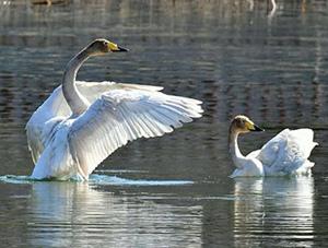 河北承德天晴日暖 大天鹅展现曼妙身姿