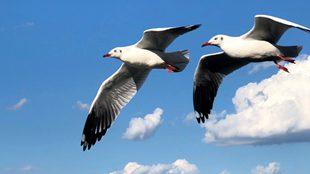 最美海鸥季到来 红嘴鸥飞抵大理越冬