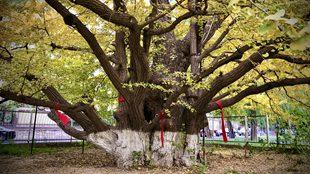 京城600多岁古银杏树?#38647;?#20102;