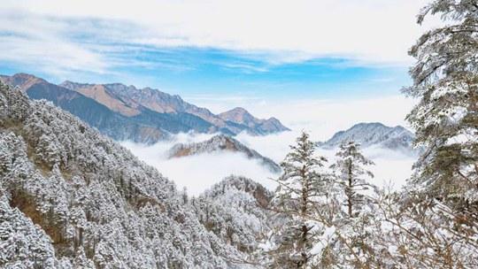 窗含西岭千秋雪 云海雪松最美时