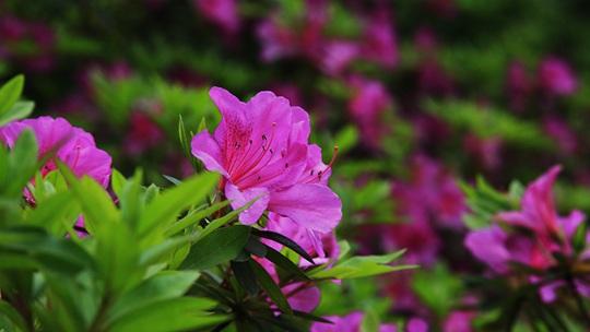 湖南武冈:映山红花开满枝头 色彩艳丽