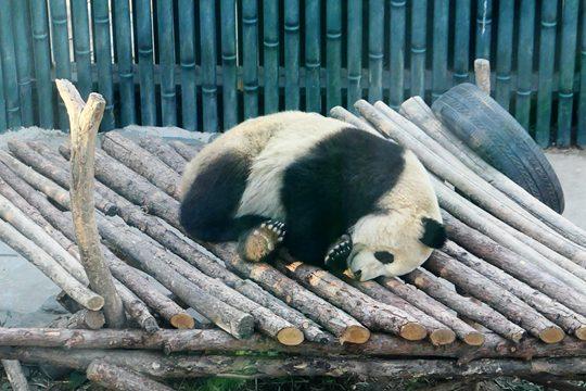 冬日里大熊貓愜意酣睡 呆萌又可愛