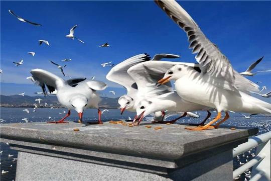 海鸥迁徙昆明海埂大坝温暖过冬