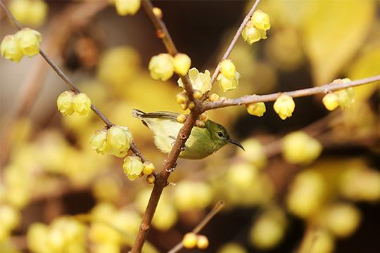 小鸟闹梅迎春来