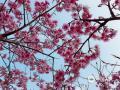 """1月22日,福州阳光明媚,森林公园的山樱花悄然盛放,在蓝天白云的衬托下愈发美艳,引得路人驻足欣赏。据悉,森林公园樱花园面积达2.5公顷,主要以福建山樱花为主。好天气配上好景,游客们纷纷拿起手机""""咔咔""""留念,一时间山樱花美照刷爆了朋友圈。(图/杨战明 文/林凌 )"""