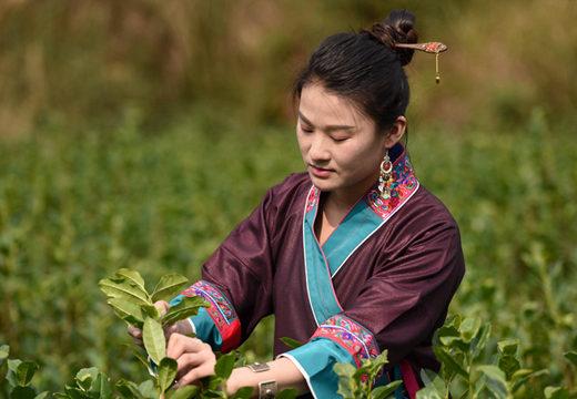 广西三江:18万亩春茶喜开采