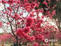大年初三,羊城天气晴暖,在蓝天和阳光的加持下,华农的樱花真是美的不得了。樱花主要集中在华农儒园和动物科学学院一带,现正值花期。校园内的樱花种类繁多,有中国红、广州樱、福建山樱、吉野樱、八重樱等等,其中花开最多得是中国红。花开正值假期,趁阳光正好,微风不燥,不如约上三五好友同游共赏。(文/陈杰荣 图/sofia的泪)