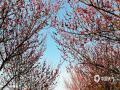 近日,安徽歙县徽州古城、卖花渔村、练江牧场等地红梅绿梅相继盛开,图为梅花与古城相伴。(仰时威 吴建平 拍摄)