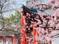 """""""三月樱花满园开,?#21644;?#29369;望中国风""""。3月14日,2019中国武汉东湖樱花节盛大开幕,武汉东湖樱花园内的部分早樱已然绽放、如云似霞,让?#39056;?#19968;起在这和煦的春风里领略樱花的浪漫。(摄/李梦蓉)"""