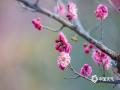 三月的泉城济南,花开的格外妩媚动人,芬芳吐蕊,正是赏花好时节。(图:李峰/文:王连珍)