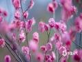 图为山东中医药大学校院内盛开的梅花。(图:李峰/文:王连珍)