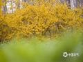 图为山东大学校院内盛开的银翘花。(图:孙彦/文:王连珍)