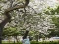 图为山东大学校院内盛开的桃叶李。(图:孙彦/文:王连珍)