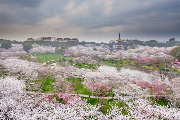 武汉东湖万株樱花齐放 如粉红色海洋