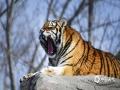 3月21日,正值春分节气,刚刚经历一场大雪的哈尔滨东北虎林园,积雪尚未消融,捕捉到了森林之王在雪中嬉戏捕猎事物的场景。(图/曹凤艳 文/黄英伟)