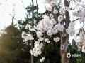 本周末南京天气晴好,南京林业大学校园内樱花进入盛花期,吸引众多游客前来观赏。(图文:刘霞)