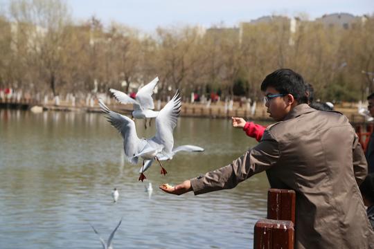 塞上湖城银川  迎来红嘴鸥觅食栖息