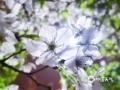 夜幕降临,华灯初上,永州市梅湾路的樱花在夜色的衬托下如梦似幻。3月下旬,当地樱花花期即将结束,置身樱花海洋,感受诗意芳华,让人不禁心生怜爱(图/曾志龙)