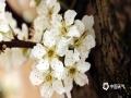 3月24日,贵州省丹寨县的桃花、梨花早已绽放枝头,微风拂过花蕊,散发阵阵清香,尽显春意。(图/张辉丽)
