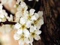 贵州丹寨 桃花梨花满枝头