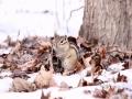 近日,刚刚结束上一轮降雪的吉林气温虽然有所回升,但依旧寒风乍起。说好的春天迟迟未来,吉林大地上的小动物们显得颇为着急。图为长春市南湖公园内在雪地中艰难觅食的花栗鼠(文 张欣彤 图 刘东辉)
