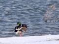 近日,刚刚结束上一轮降雪的吉林气温虽然有所回升,但依旧寒风乍起。说好的春天迟迟未来,吉林大地上的小动物们显得颇为着急。都说春江水暖鸭先知,就长春市目前的温度,对不起,鸭子下不去水!(文 张欣彤 图 刘东辉)
